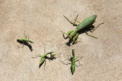 Mantises on a wall Royalty Free Stock Photo
