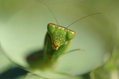 Mantisschauen Lizenzfreie Stockbilder