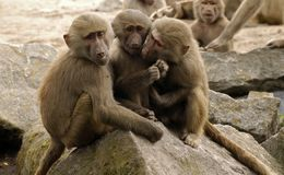 Mantle baboon. Silblings close together Stock Image
