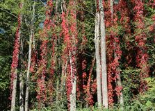 A Mantle of Glorious Reds. A stand of  otherwise unremarkable trees is eye catching in its glorious mantle of autumn red Virginia Creeper which contrasts sharply Royalty Free Stock Image