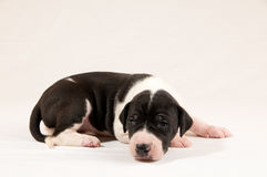 Mantle Great Dane Puppy Royalty Free Stock Photography