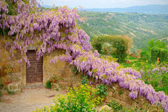 Mantle purple wisteria in bloom along the medieval walls of the perched village of Civita, overlooking the background of valley. Mantle purple wisteria in bloom Royalty Free Stock Images