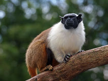 Mantle tamarin Stock Photos