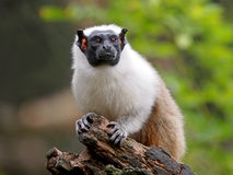 Mantle Tamarin Stock Images