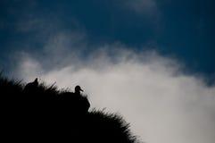 Mantled светом гнездо альбатроса стоковые изображения rf