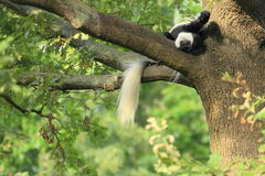Mantled colobus Stock Image