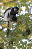 Mantled guereza. The mantled guereza sitting on the tweet Stock Images