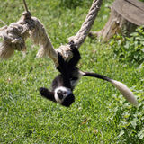 Mantled guereza Royalty Free Stock Photography