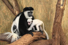 Mantled guereza Stock Photography