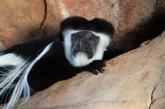 Mantled Guereza Royalty Free Stock Photo