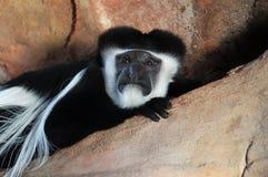 Mantled Guereza. In the Hubbard Gorrila exhitibt at the Omaha Henry Doorly Zoo Royalty Free Stock Photo