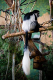 Mantled Guereza Stock Photo