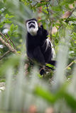 Mantled guereza. The mantled guereza & x28;Colobus guereza& x29;, also known simply as the guereza, the eastern black-and-white colobus, or the Abyssinian black Stock Photo