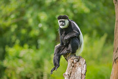 Mantled guereza (Colobus guereza) Stock Photography