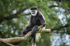 Mantled guereza royalty free stock images