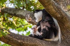 Mantled guereza and its baby Stock Photos