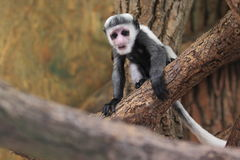 Mantled guereza juvenile Royalty Free Stock Photo
