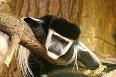 Mantled guereza Royalty Free Stock Photos