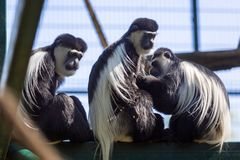 Mantled guerezas royalty free stock photo