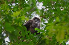 Mantled howler feeding  in Tortuguero National Park, Costa Rica. Mantled howlerAlouatta palliata, or golden-mantled howling monkey feeding leaves on a tree in stock photography