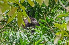 Mantled howler feeding  in Tortuguero National Park, Costa Rica. Mantled howlerAlouatta palliata, or golden-mantled howling monkey feeding leaves on a tree in Stock Photos