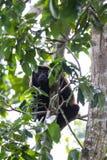Mantled howler monkey - Alouatta palliata Royalty Free Stock Photo