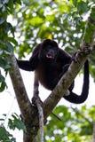 Mantled howler monkey - Alouatta palliata Stock Photography