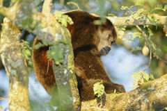 Mantled Howler Monkey, Costa Rica Royalty Free Stock Images