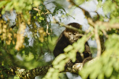 Mantled Howler Monkey, Costa Rica Royalty Free Stock Photo