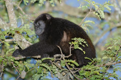 Mantled Howler Monkey, Costa Rica Royalty Free Stock Photos