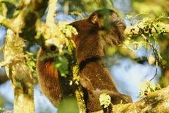 Mantled Howler Monkey, Costa Rica Stock Photos