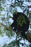 Mantled Howler Monkey silhouette, Costa Rica Royalty Free Stock Images