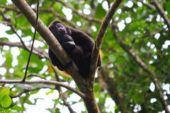 Mantled Howler Monkey Sleeping Royalty Free Stock Photography