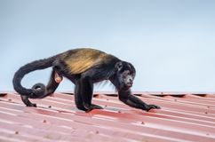 Mantled howler in Tortuguero National Park, Costa Rica. Male Mantled howlerAlouatta palliata, or golden-mantled howling monkey running on the roof of the lodge Stock Image