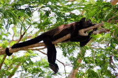 Mantled wyjec małpa obrazy royalty free