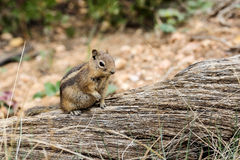 Mantled zmielona wiewiórka, ut Zdjęcia Royalty Free