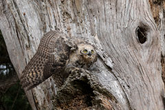Mantling Great Horned Owl Fledgling Royalty Free Stock Photos