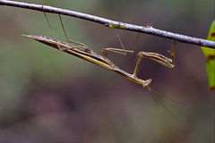 Mantodea on a brown branch Royalty Free Stock Photos