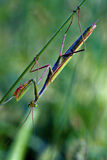 Mantodea  close Royalty Free Stock Photography