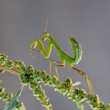 An mantodea crawling Royalty Free Stock Photography