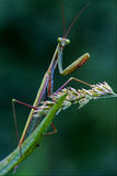 Mantodea  the flowering bush Stock Photography