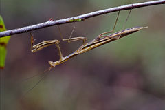 Mantodea on a green brown branch Royalty Free Stock Photography
