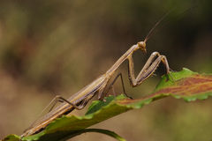 Mantodea on  green Stock Image