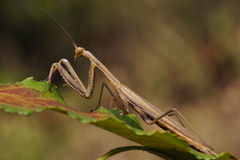 Mantodea on a green Royalty Free Stock Images