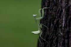 Mantodea is on the tree. royalty free stock images