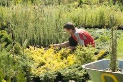 Manträdgårdsmästaren arbetar i trädgården royaltyfria foton