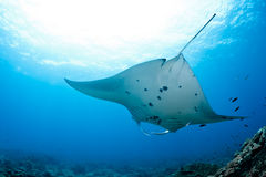 Manty Ray Obraz Royalty Free