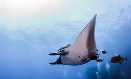 Manty Ray przy Islas Revillagigedos, Meksyk zdjęcie stock