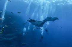 Manty Ray przy Islas Revillagigedos, Meksyk obrazy royalty free