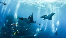 Manty Ray przy Islas Revillagigedos, Meksyk fotografia royalty free